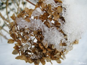 Hortensia in de winter, http://www.flickr.com/photos/monteregina/